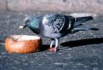 Pigeon Eating from a french bread bowl, ABDV01P04_09B