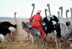 Ostrich Racing, Bareback Riding, ABEV01P02_15