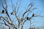 Vultures, Zaire Africa, ABFD01_142
