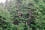 Bald Eagle, Homer Alaska, ABFV01P06_07