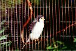 African Pygmy Falcon, native to Eastern and Southern Africa, ABFV01P09_03