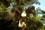 Bald Eagle, feathers, ABFV01P10_03