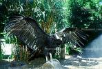 Andean Condor spreads its wings, feathers