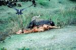 Vultures, cattle carcass, ABFV02P02_03