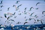 Seagulls in Flight, Flying, airborne, Sky, Skies, ABGV02P04_01