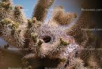 Hummingbird Nest, Cholla Cactus, Joshua Tree National Monument, ABHV01P01_07.3341