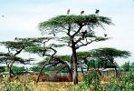 Stork, Acacia Tree, Africa, African, ABIV02P01_07