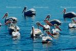 White Pelicans, Tule Lake Wildlife Refuge, California
