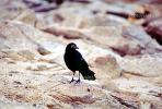 Crow, Carmel California, ABPV01P07_12