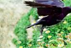 Crow, Carmel California, Blackbird, ABPV01P08_04