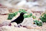 Crow, Carmel California, Blackbird, ABPV01P08_06