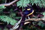 Golden-breasted Starling, Cosmopsarus regius, Sturnidae, ABPV01P09_18
