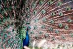 Peacock, Phasianidae, Phasianinae, Peafowl, pheasant, extravagant eye-spotted tail, eyes, iridescent, feathers, plumage, ABQV01P04_03