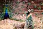 Peacock, Phasianidae, Phasianinae, Peafowl, pheasant, extravagant eye-spotted tail, eyes, iridescent, feathers, plumage, ABQV01P04_06