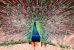 Peacock, Phasianidae, Phasianinae, Peafowl, pheasant, extravagant eye-spotted tail, eyes, iridescent, feathers, plumage, ABQV01P04_10