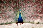 Peacock, Phasianidae, Phasianinae, Peafowl, pheasant, extravagant eye-spotted tail, eyes, iridescent, feathers, plumage, ABQV01P04_12