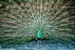 Peacock, Phasianidae, Phasianinae, Peafowl, pheasant, extravagant eye-spotted tail, eyes, iridescent, feathers, plumage, ABQV01P04_13