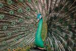 Peacock, Phasianidae, Phasianinae, Peafowl, pheasant, extravagant eye-spotted tail, eyes, iridescent, feathers, plumage, ABQV01P04_16.3343