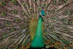 Peacock, Phasianidae, Phasianinae, Peafowl, pheasant, extravagant eye-spotted tail, eyes, iridescent, feathers, plumage, ABQV01P04_19.3343