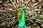 Peacock, Phasianidae, Phasianinae, Peafowl, pheasant, extravagant eye-spotted tail, eyes, iridescent, feathers, plumage, ABQV01P04_19B.3343
