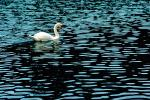 Swan, pond, lake, ripples, Wavelets, ABWV01P01_06.1567