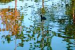 Duck, pond, lake reflection, ripples, Wavelets, ABWV01P03_12.3344