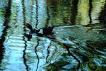 ducks, lake, ripples, reflection, Wavelets, ABWV01P04_02.3344