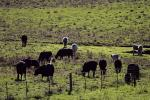 Cows, Cattle, Sonoma County