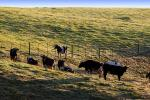 Dairy Cows, Cattle, Fields, Hills, Two-Rock, Sonoma County, ACFD01_063