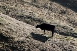 Dairy Cow, Shadow, Winter, Sonoma County, Two-Rock, ACFD01_066