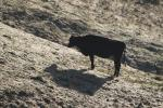 Dairy Cow, Shadow, Winter, Sonoma County, Two-Rock, ACFD01_067