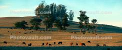 Cows, Cattle, Marin County, California, ACFD01_172