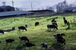 Grazing Cows, Valley Ford, Sonoma County, ACFD01_191