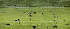 sheep, grazing, grass, ACFD01_209