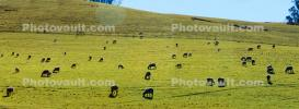 sheep, grazing, grass, Grass Field, ACFD01_214