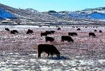 Cows grazing in the snow, Paintography, ACFD01_223