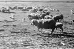 Galloping Sheep, Cotati, Sonoma County, ACFPCD0661_041
