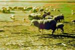 Galloping Sheep, Cotati, Sonoma County, ACFPCD0661_041B
