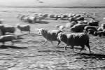 Galloping Sheep, Cotati, Sonoma County, ACFPCD0661_042