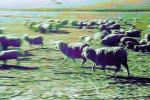 Galloping Sheep, Cotati, Sonoma County, ACFPCD0661_042B