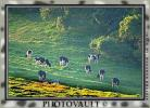 Grazing Cows, California, Trees, Hills, Hillside