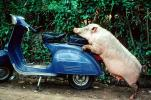 Scooter, Vespa, Bali, Indonesia, pig, Hog, funny, humorous, hilarious, sow, ACFV01P03_05
