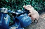 Scooter, Vespa, Bali, Indonesia, pig, Hog, funny, humorous, hilarious, sow, ACFV01P03_06