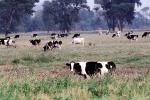 Dairy Cows, Fernwood, Humboldt County, ACFV01P13_03