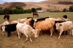 Beef Cows, north of Eureka, Humboldt County, ACFV01P14_19.4098