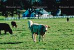 Cow, Jolon, Monterey County, ACFV02P01_02.1709