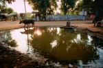 Cow, Bayad Taluka, Gujarat, India, ACFV02P02_12.4098