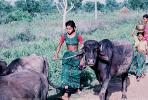 Cow, Bayad Taluka, Gujarat, India, ACFV02P02_19