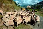 Sheep, Herding, Araniko Highway, Himalayas, Nepal