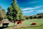 Beef Cows, ACFV02P04_01.4098